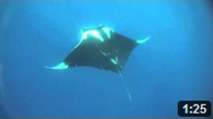 mantas dancing with freedivers